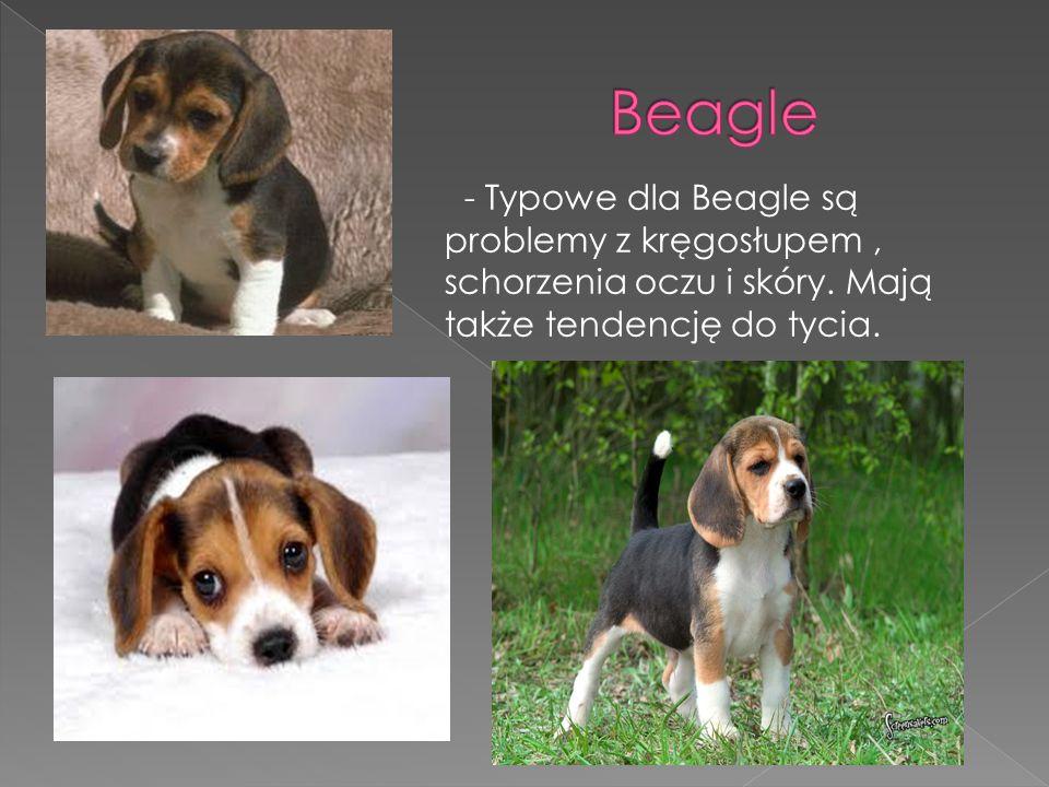 - Typowe dla Beagle są problemy z kręgosłupem, schorzenia oczu i skóry. Mają także tendencję do tycia.