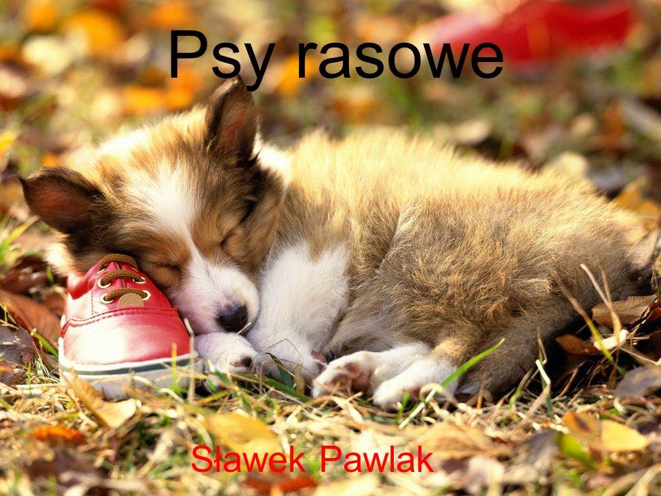 Psy rasowe Sławek Pawlak
