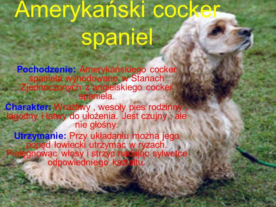 Amerykański cocker spaniel Pochodzenie: Amerykańskiego cocker spaniela wyhodowano w Stanach Zjednoczonych z angielskiego cocker spaniela.