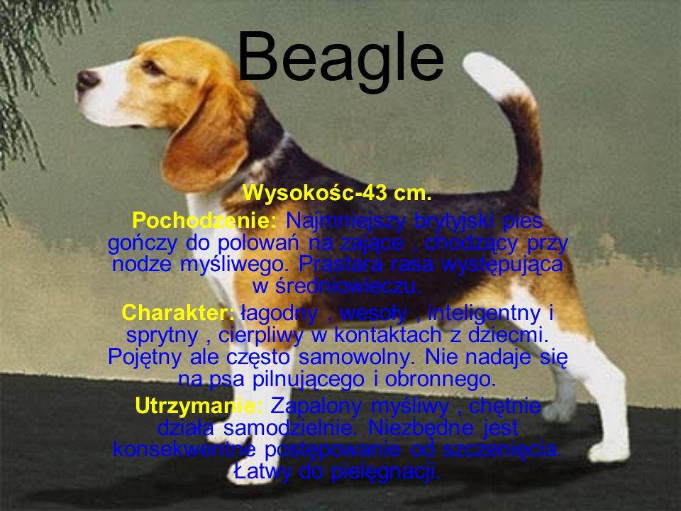 Beagle Wysokośc-43 cm.