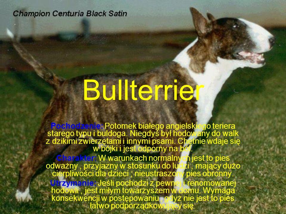 Bullterrier Pochodzenie: Potomek białego angielskiego teriera starego typu i buldoga.