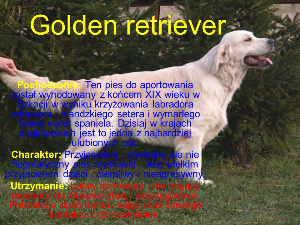 Golden retriever Pochodzenie: Ten pies do aportowania został wyhodowany z końcem XIX wieku w Szkocji w wyniku krzyżowania labradora retrievera, irlandzkiego setera i wymarłego tweed water spaniela.