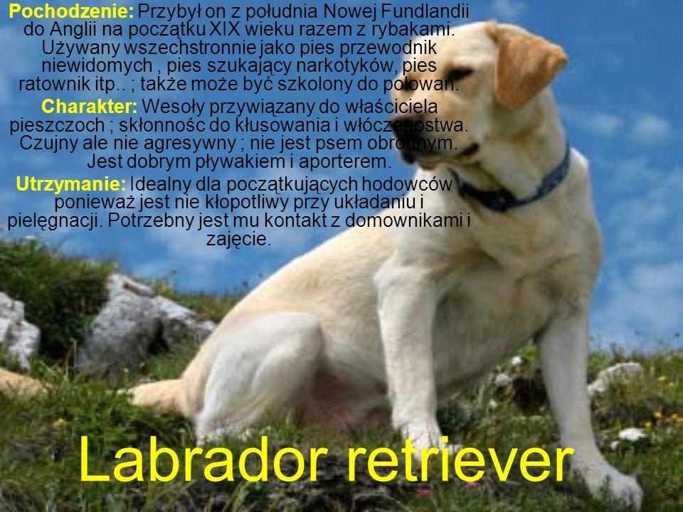Labrador retriever Pochodzenie: Przybył on z południa Nowej Fundlandii do Anglii na początku XIX wieku razem z rybakami.