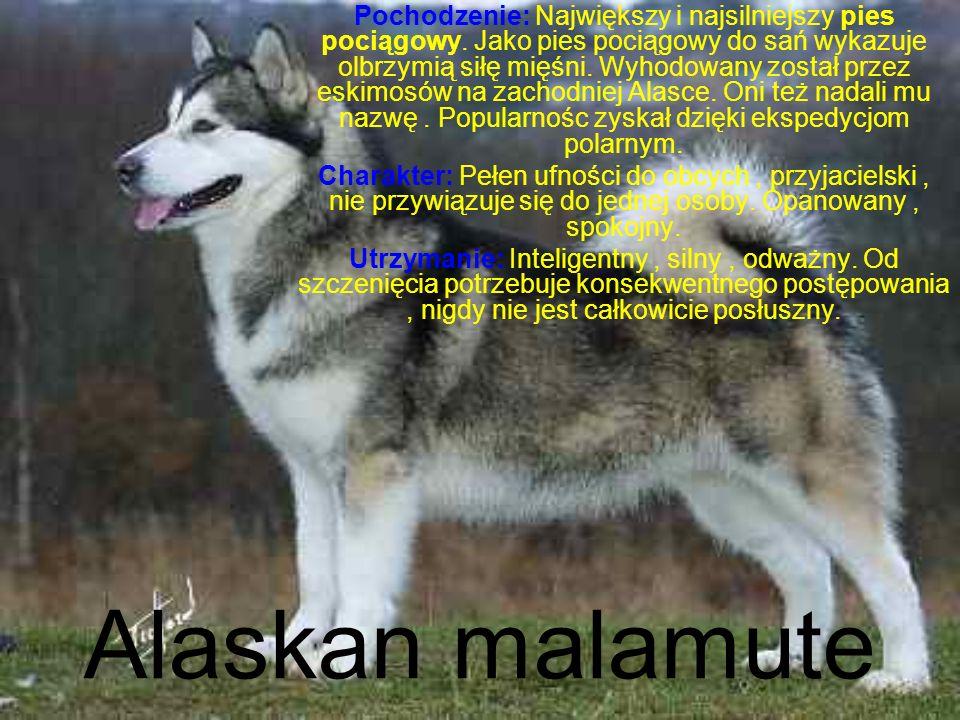 Alaskan malamute Pochodzenie: Największy i najsilniejszy pies pociągowy.
