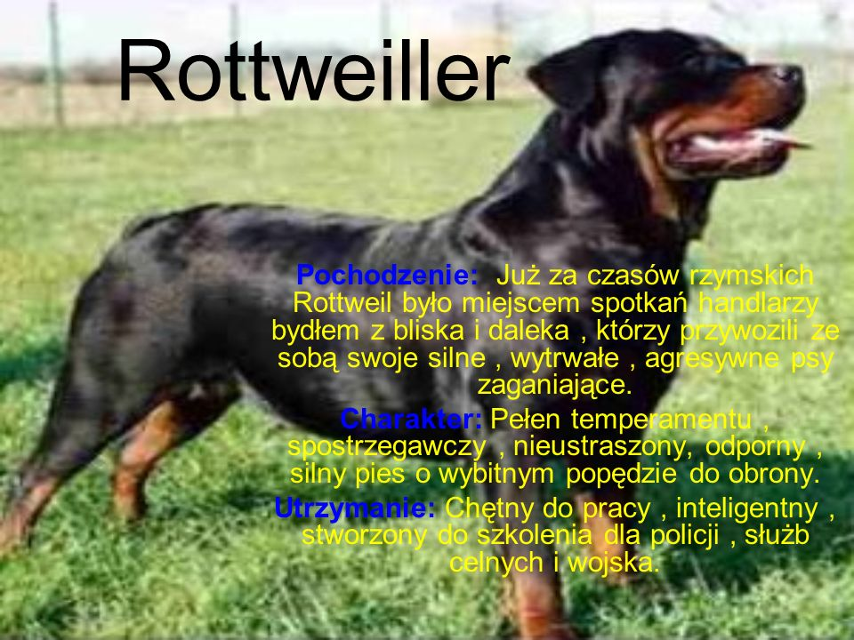 Rottweiller Pochodzenie: Już za czasów rzymskich Rottweil było miejscem spotkań handlarzy bydłem z bliska i daleka, którzy przywozili ze sobą swoje silne, wytrwałe, agresywne psy zaganiające.