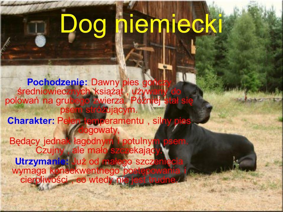 Dog niemiecki Pochodzenie: Dawny pies gończy średniowiecznych książąt, używany do polowań na grubego zwierza.