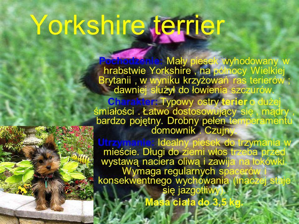 Yorkshire terrier Pochodzenie: Mały piesek wyhodowany w hrabstwie Yorkshire, na północy Wielkiej Brytanii, w wyniku krzyżowań ras terierów ; dawniej służył do łowienia szczurów.