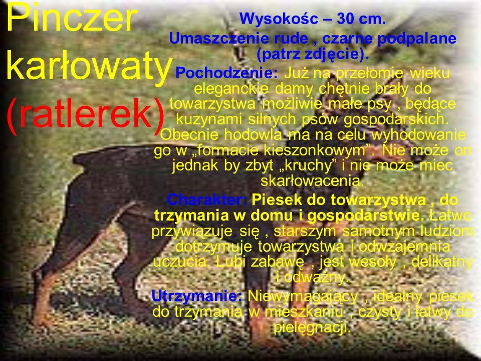 Pinczer karłowaty (ratlerek) Wysokośc – 30 cm.Umaszczenie rude, czarne podpalane (patrz zdjęcie).