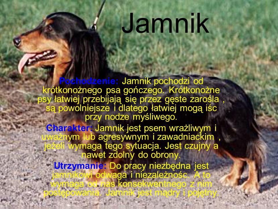 Jamnik Pochodzenie: Jamnik pochodzi od krótkonożnego psa gończego.