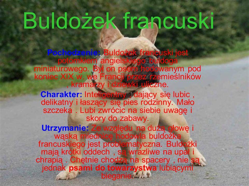 Buldożek francuski Pochodzenie: Buldożek francuski jest potomkiem angielskiego buldoga miniaturowego.