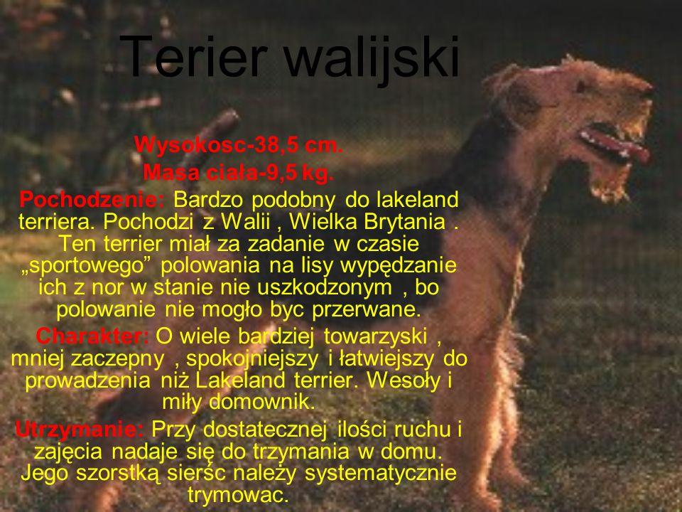 Terier walijski Wysokosc-38,5 cm.Masa ciała-9,5 kg.