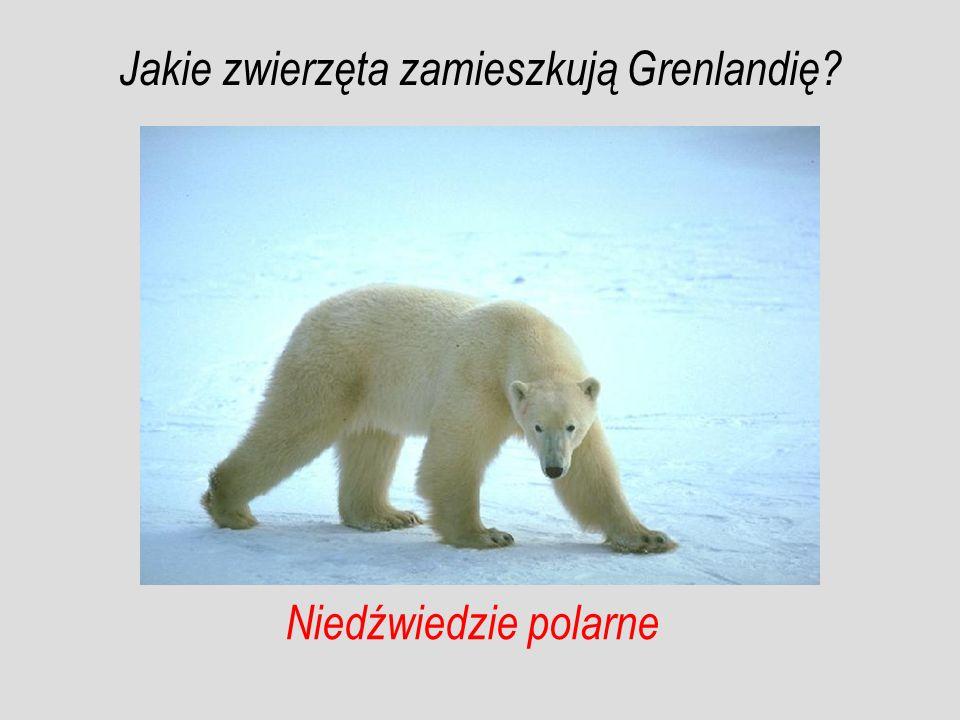 Niedźwiedzie polarne Jakie zwierzęta zamieszkują Grenlandię?