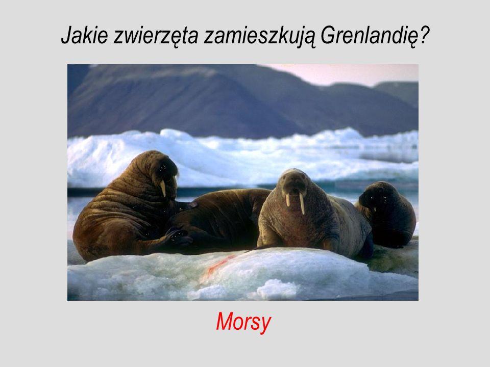 Morsy Jakie zwierzęta zamieszkują Grenlandię?