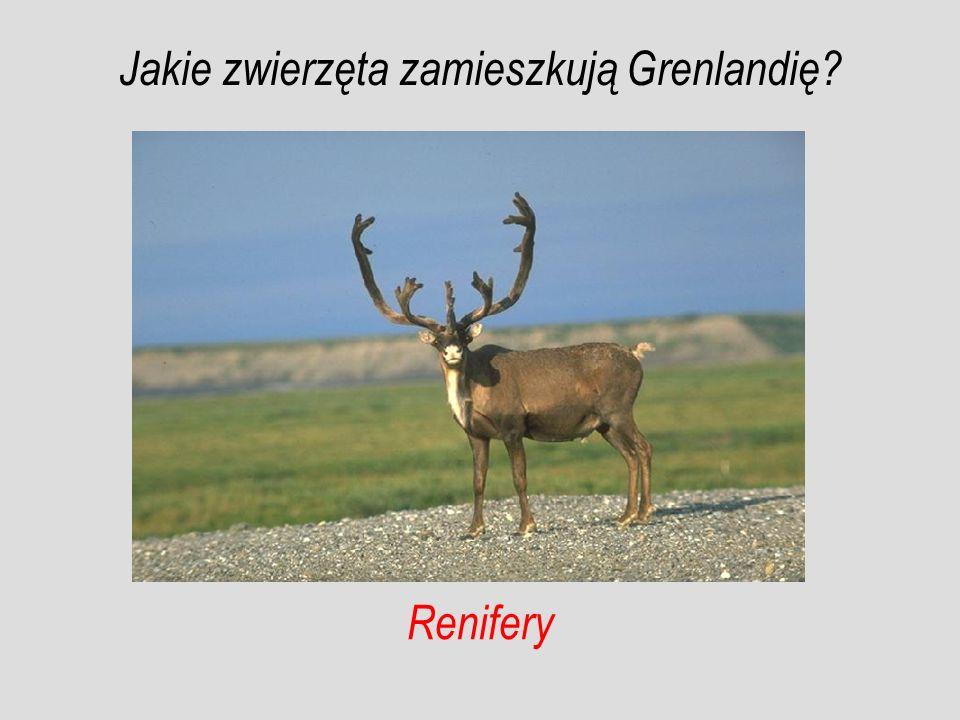 Renifery Jakie zwierzęta zamieszkują Grenlandię?