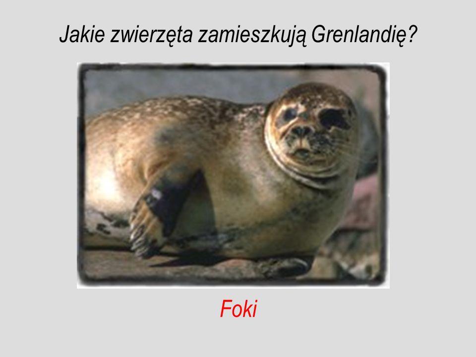 Foki Jakie zwierzęta zamieszkują Grenlandię?