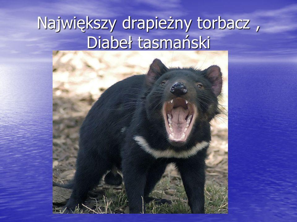 Największy drapieżny torbacz, Diabeł tasmański