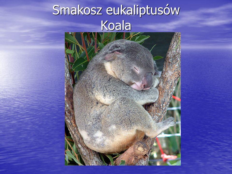 Smakosz eukaliptusów Koala