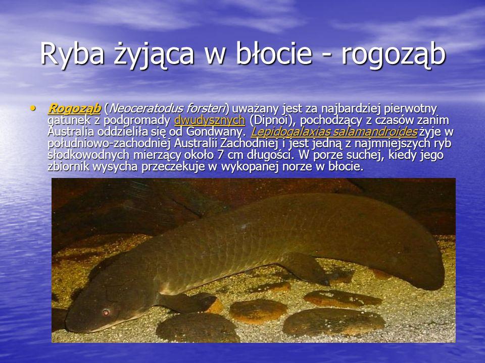 Ryba żyjąca w błocie - rogoząb Rogoząb (Neoceratodus forsteri) uważany jest za najbardziej pierwotny gatunek z podgromady dwudysznych (Dipnoi), pochod