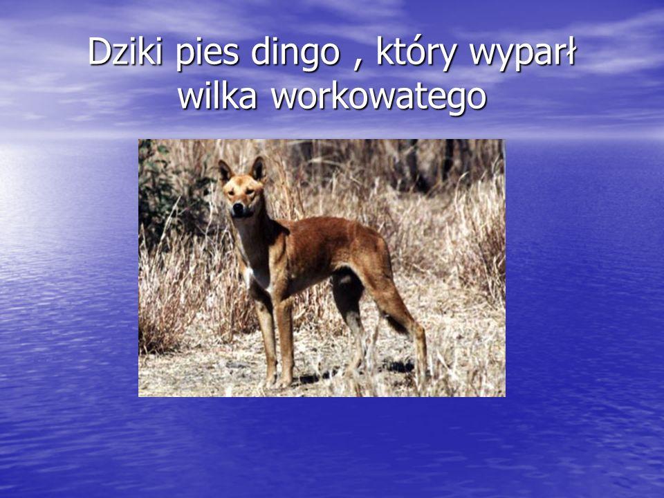 Dziki pies dingo, który wyparł wilka workowatego