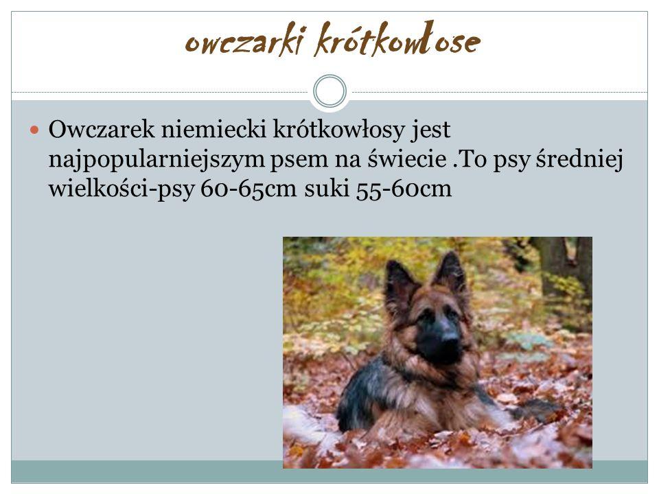 owczarki krótkow ł ose Owczarek niemiecki krótkowłosy jest najpopularniejszym psem na świecie.To psy średniej wielkości-psy 60-65cm suki 55-60cm