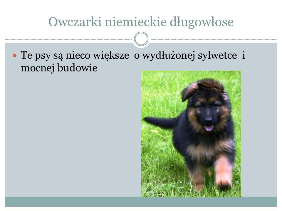 Owczarki niemieckie długowłose Te psy są nieco większe o wydłużonej sylwetce i mocnej budowie