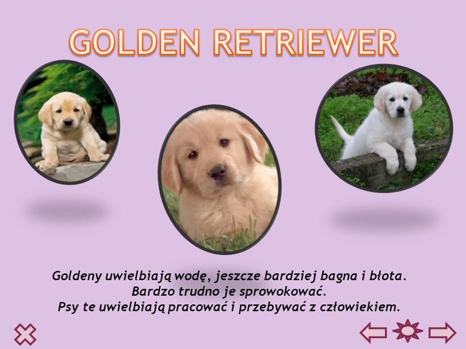 Goldeny uwielbiają wodę, jeszcze bardziej bagna i błota. Bardzo trudno je sprowokować. Psy te uwielbiają pracować i przebywać z człowiekiem.