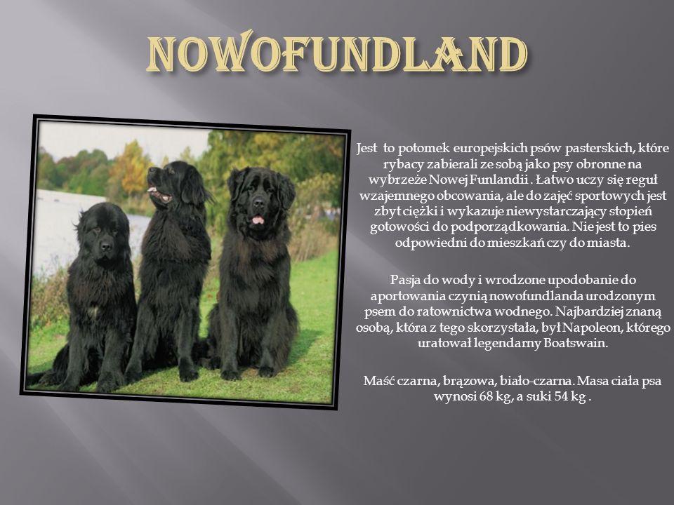 Jest to pierwszej klasy pies myśliwski, pies poszukujący środków odurzających i min, pies ratownik, lawinowy, przewodnik niewidomych i pies rodzinny.