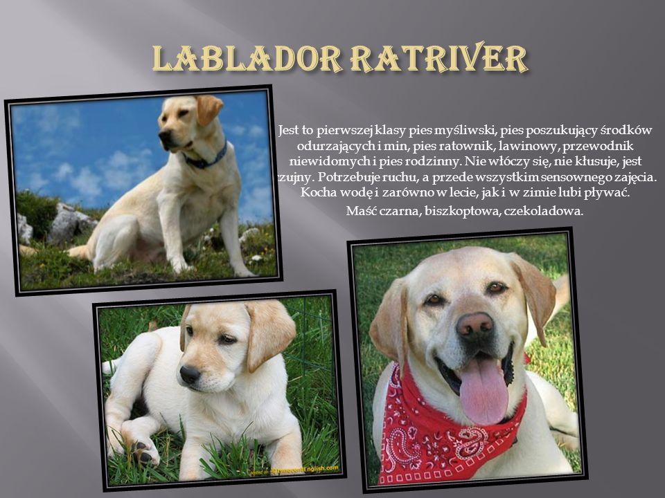 Jedna z ras psów, należąca do grupy psów w typie pinczera i sznaucera, molosów, szwajcarskich psów pasterskich oraz innych ras.