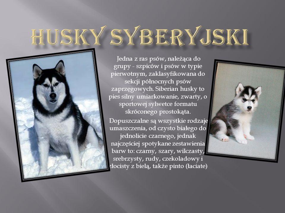 Jedna z ras psów, należąca do grupy - szpiców i psów w typie pierwotnym, zaklasyfikowana do sekcji północnych psów zaprzęgowych. Siberian husky to pie