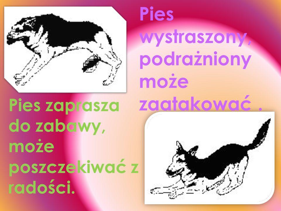 Pies wystraszony. Pies demonstruje lęk, poddanie się i podporządkowani e silniejszemu.