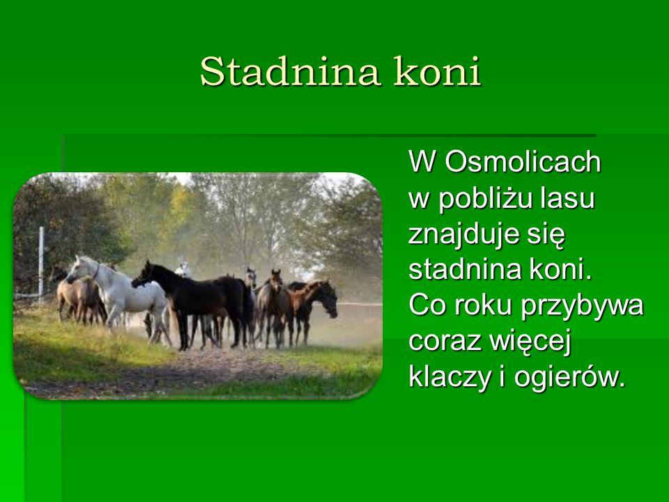 Stadnina koni W Osmolicach w pobliżu lasu znajduje się stadnina koni. Co roku przybywa coraz więcej klaczy i ogierów.