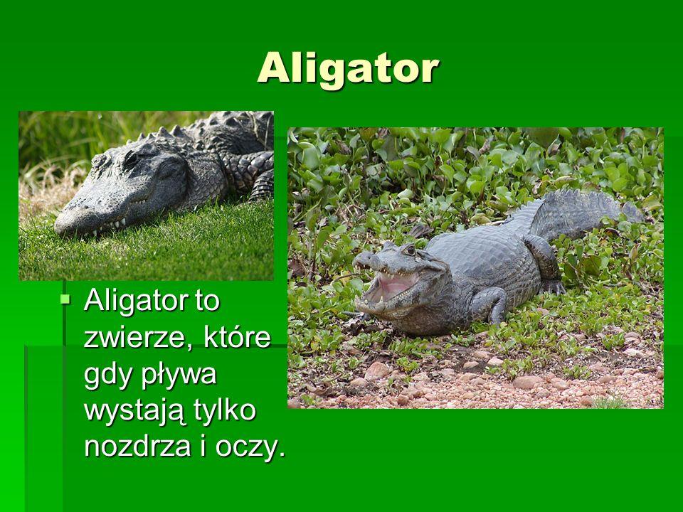 Aligator Aligator to zwierze, które gdy pływa wystają tylko nozdrza i oczy. Aligator to zwierze, które gdy pływa wystają tylko nozdrza i oczy.