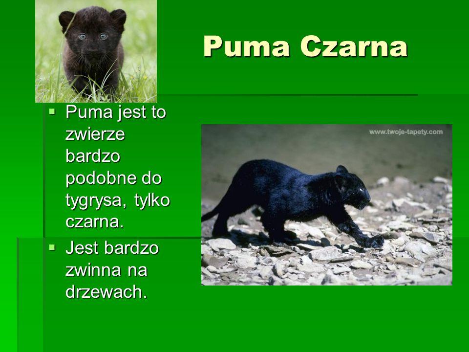 Puma Czarna Puma jest to zwierze bardzo podobne do tygrysa, tylko czarna. Puma jest to zwierze bardzo podobne do tygrysa, tylko czarna. Jest bardzo zw