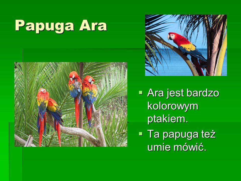 Papuga Ara Ara jest bardzo kolorowym ptakiem. Ara jest bardzo kolorowym ptakiem. Ta papuga też umie mówić. Ta papuga też umie mówić.