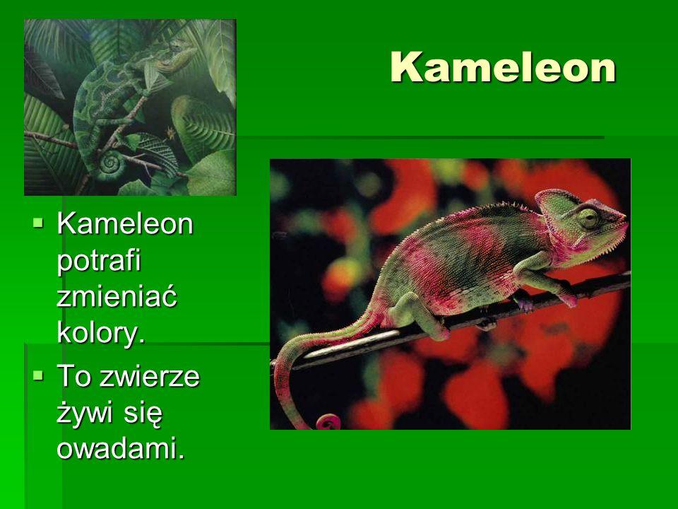 Kameleon Kameleon potrafi zmieniać kolory. Kameleon potrafi zmieniać kolory. To zwierze żywi się owadami. To zwierze żywi się owadami.