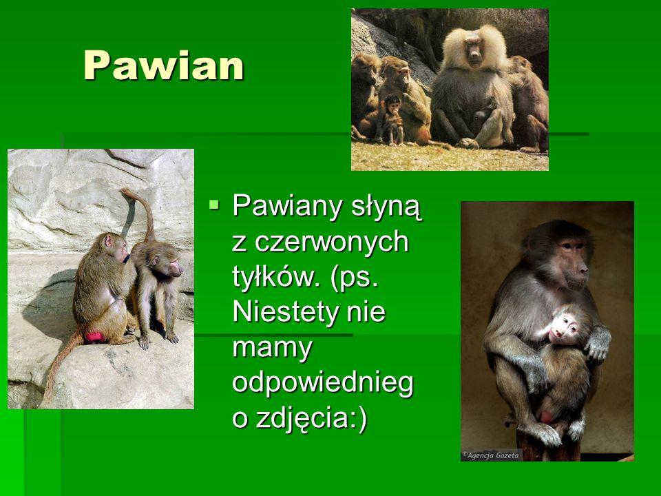 Pawian Pawiany słyną z czerwonych tyłków. (ps. Niestety nie mamy odpowiednieg o zdjęcia:) Pawiany słyną z czerwonych tyłków. (ps. Niestety nie mamy od