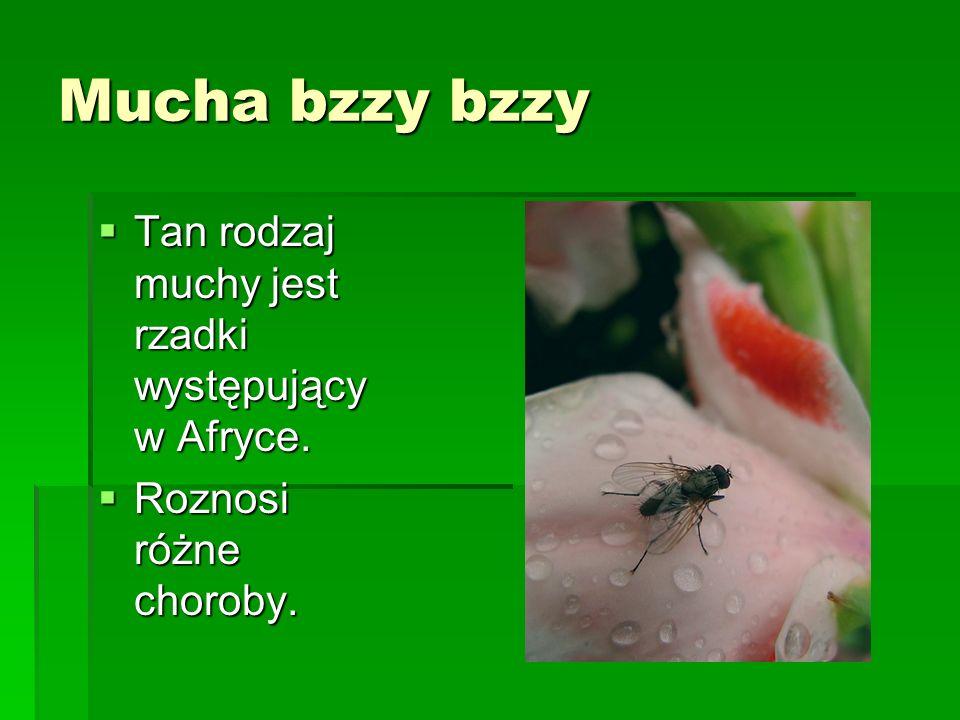 Mucha bzzy bzzy Tan rodzaj muchy jest rzadki występujący w Afryce. Tan rodzaj muchy jest rzadki występujący w Afryce. Roznosi różne choroby. Roznosi r