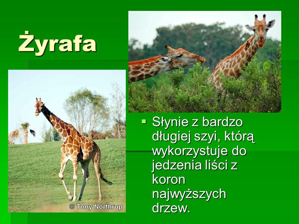 Żyrafa Słynie z bardzo długiej szyi, którą wykorzystuje do jedzenia liści z koron najwyższych drzew. Słynie z bardzo długiej szyi, którą wykorzystuje