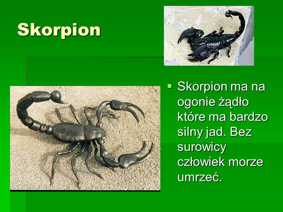 Skorpion Skorpion ma na ogonie żądło które ma bardzo silny jad. Bez surowicy człowiek morze umrzeć. Skorpion ma na ogonie żądło które ma bardzo silny
