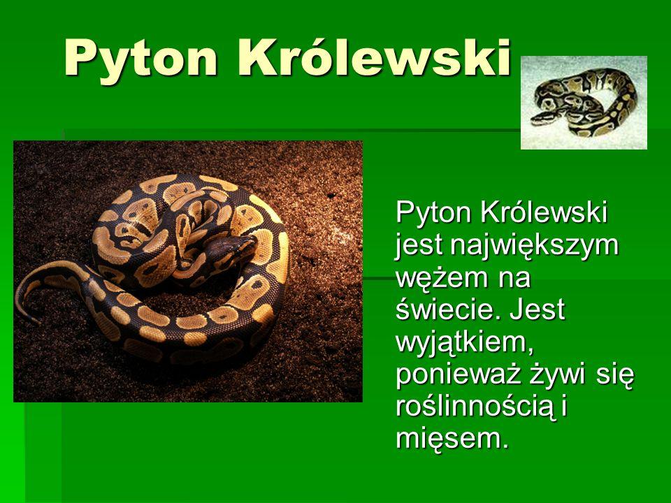 Pyton Królewski Pyton Królewski jest największym wężem na świecie. Jest wyjątkiem, ponieważ żywi się roślinnością i mięsem.