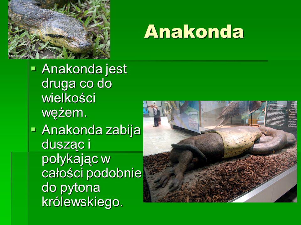 Anakonda Anakonda jest druga co do wielkości wężem. Anakonda jest druga co do wielkości wężem. Anakonda zabija dusząc i połykając w całości podobnie d