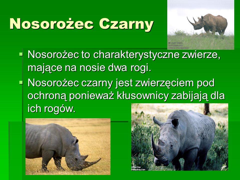 Nosorożec Czarny Nosorożec to charakterystyczne zwierze, mające na nosie dwa rogi. Nosorożec to charakterystyczne zwierze, mające na nosie dwa rogi. N