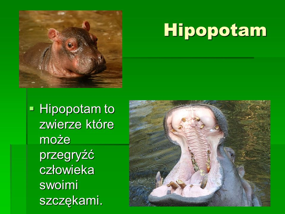Hipopotam Hipopotam to zwierze które może przegryźć człowieka swoimi szczękami. Hipopotam to zwierze które może przegryźć człowieka swoimi szczękami.