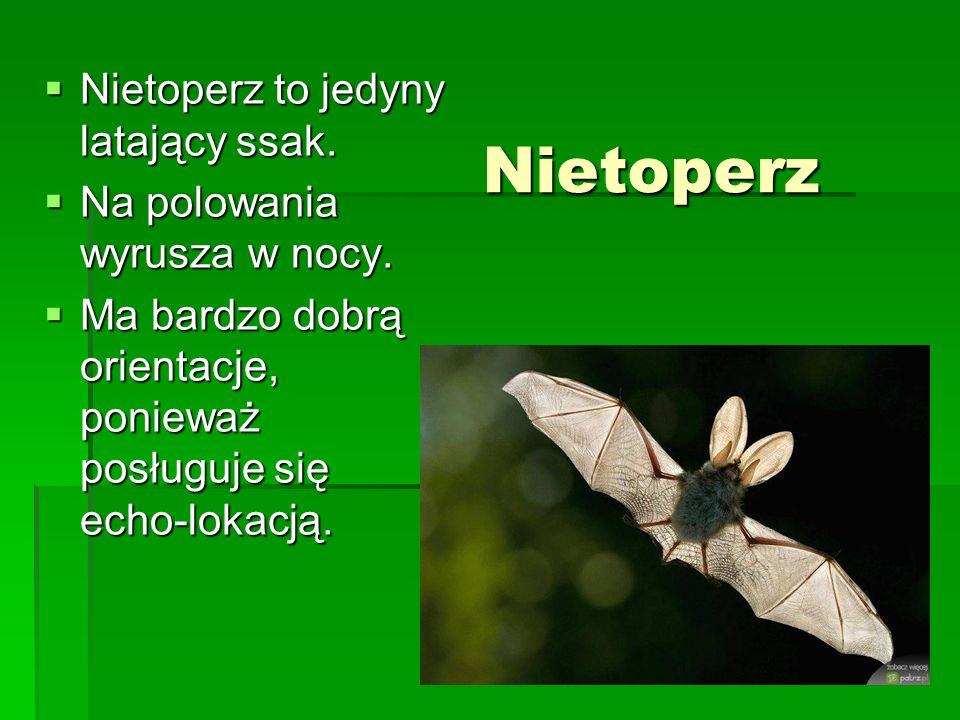Nietoperz Nietoperz to jedyny latający ssak. Nietoperz to jedyny latający ssak. Na polowania wyrusza w nocy. Na polowania wyrusza w nocy. Ma bardzo do