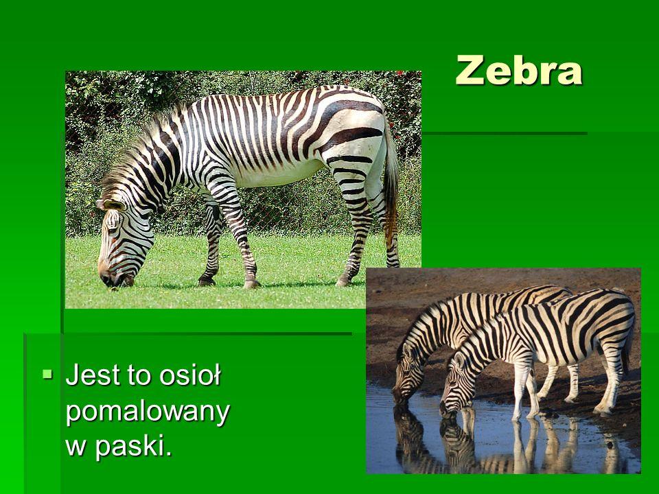 Zebra Jest to osioł pomalowany w paski. Jest to osioł pomalowany w paski.