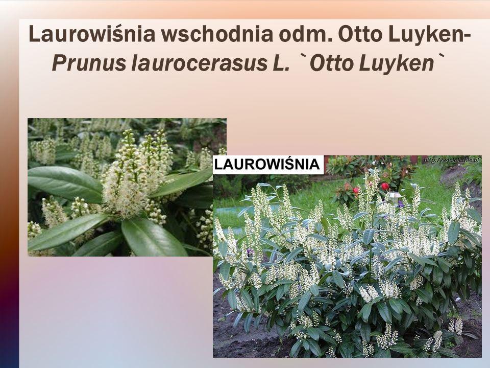 Laurowiśnia wschodnia odm. Otto Luyken- Prunus laurocerasus L. `Otto Luyken`