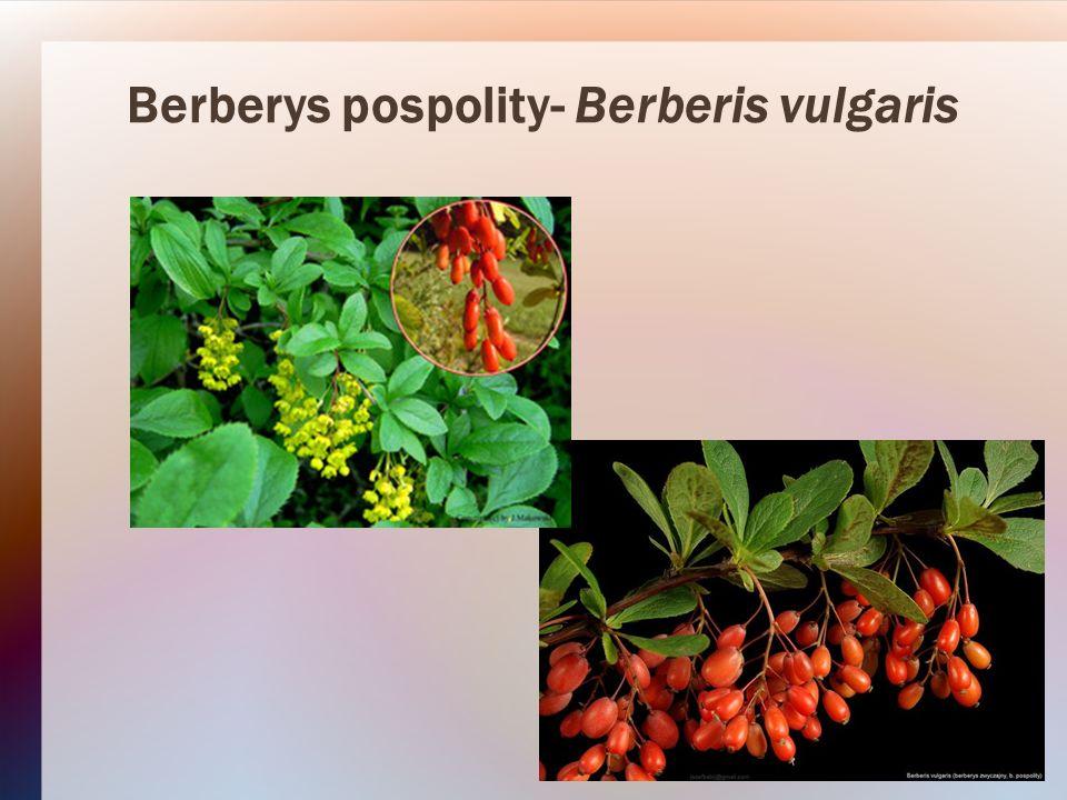 Berberys pospolity- Berberis vulgaris
