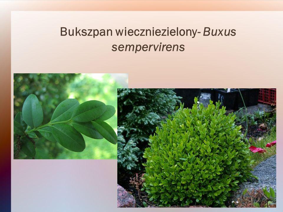 Bukszpan wieczniezielony- Buxus sempervirens