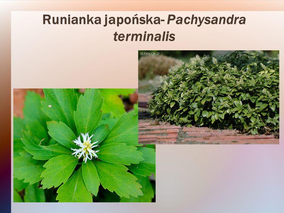 Runianka japońska- Pachysandra terminalis