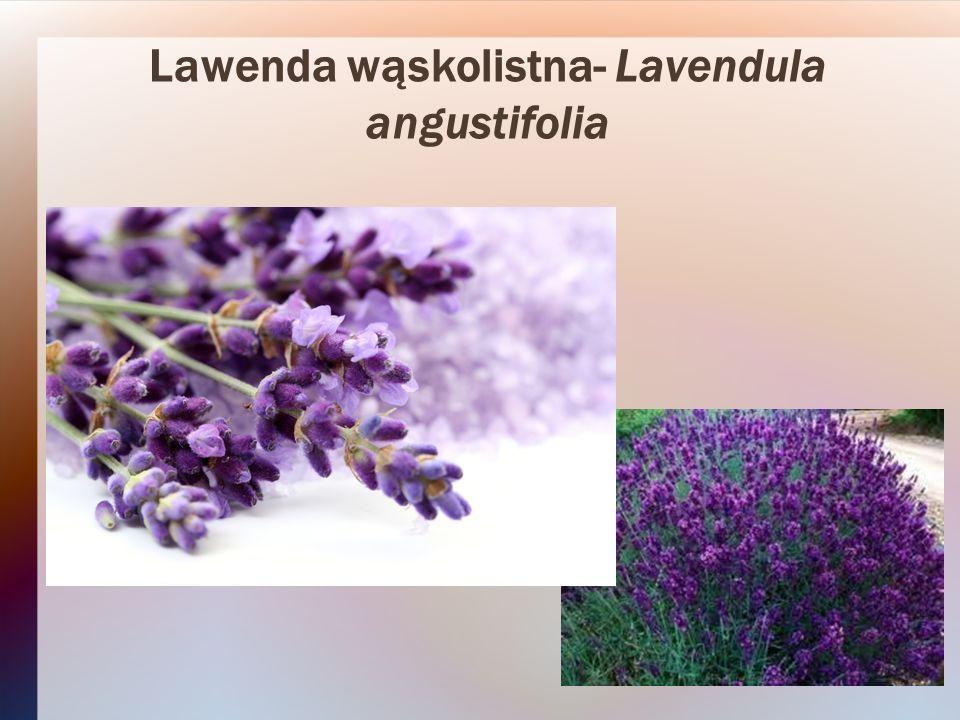 Ostrokrzew kolczasty- Ilex aquifolium